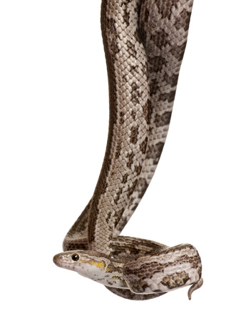 Baird's rat snake, Elaphe bairdi, hanging in front of white background Reklamní fotografie