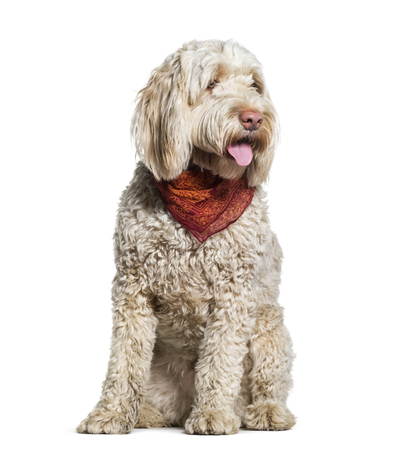 Portuguese Water Dog sitting in studio against white background Stock fotó