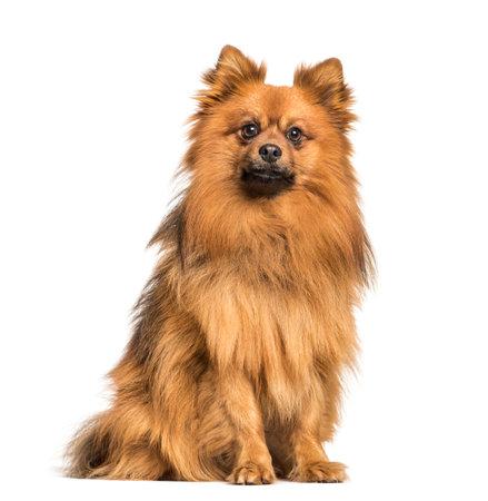 Keeshond dog sitting against white background Stockfoto