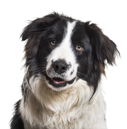 Border Collie dog, 9 months old, close up against white background Stock Photo
