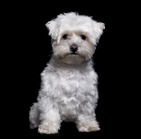 Maltese dog, 2 years old, sitting against white background 写真素材