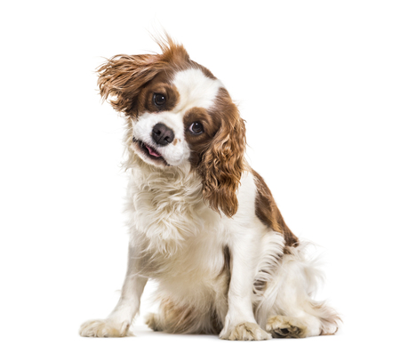 Cavalier King Charles Spaniel, 19 months old, sitting against white background Stock Photo