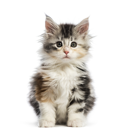 Maine coon kitten, 8 weeks old, in front of white background 免版税图像