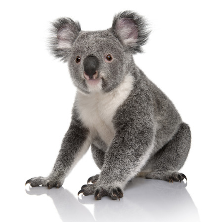 Giovane koala, Phascolarctos cinereus, 14 mesi, seduto di fronte a uno sfondo bianco