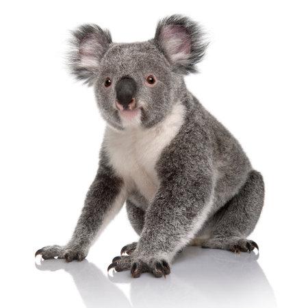 Joven koala, Phascolarctos cinereus, 14 meses de edad, sentado delante de un fondo blanco