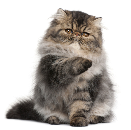 Persian kitten, 4 months old, with paw up in front of white background