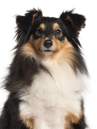 Close-up of Shetland Sheepdog, 1 year old, in front of white background