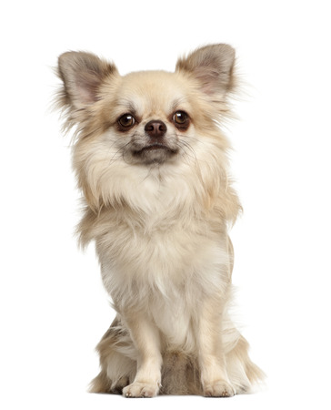 Chihuahua, 1 year old, sitting against white background