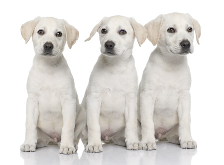dogs, Three cream Labrador retriever puppies sitting in a row, in front of white background and facing the camera