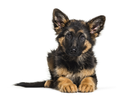 German Shepherd, 3 months old, in front of white background
