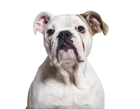 French Bulldog, 5 months old, close up against white background Banco de Imagens