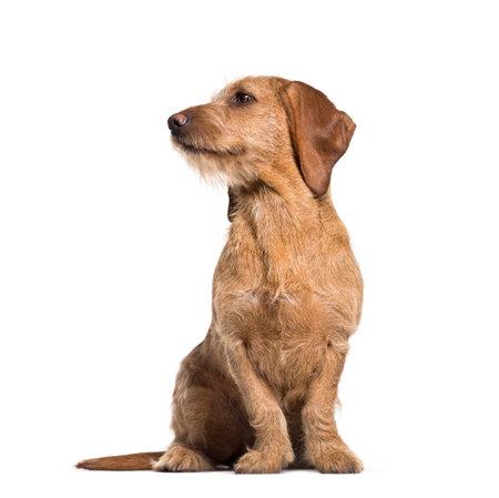 Basset Fauve de Bretagne dog, 8 months old, sitting against white background