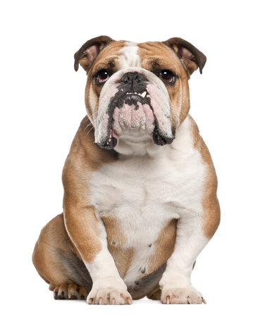 English Bulldog, 5 years old, sitting against white background