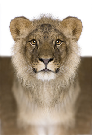 Digitally enhanced Lion, Panthera leo, 9 months old, in front of a white background, studio shot Stock Photo