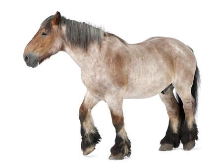Belgian horse, Brabançon, 16 years old, walking in front of white background