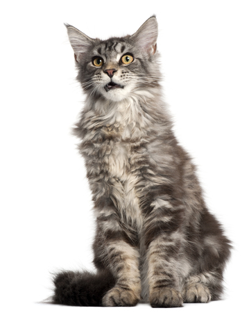 Maine Coon, 2 years old, sitting in front of white background Stock Photo