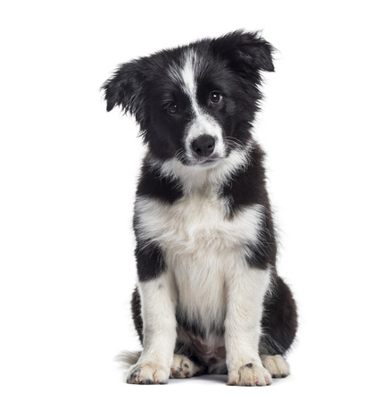 Border Collie puppy, 17 weeks old, sitting against white background Banco de Imagens - 110985708
