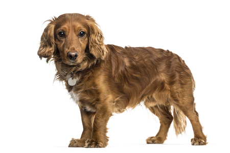 Mixed-breed dog standing against white background