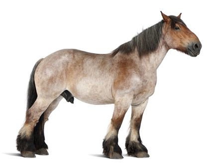 Belgian horse, Brabançon, 16 years old, standing in front of white background Banco de Imagens