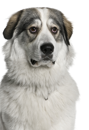 Pyrenean Mountain Dog, known as the Great Pyrenees, 8 months old, sitting in front of white background