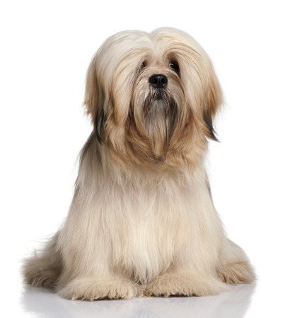 Lhassa Apso, 9 months old, sitting in front of white background 写真素材