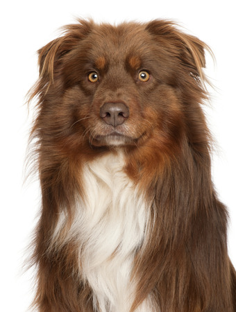 Close-up of Australian Shepherd dog, in front of white background Фото со стока