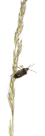 European stink bug, Rhaphigaster nebulosa, climbing grass against white background Reklamní fotografie