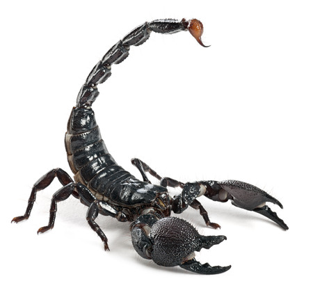 Emperor Scorpion,  Pandinus imperator, in front of white background Imagens