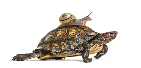 Ornate or painted wood turtle, Rhinoclemmys pulcherrima, with Brown-lipped snail, Cepaea nemoralis, on its back, in front of white background
