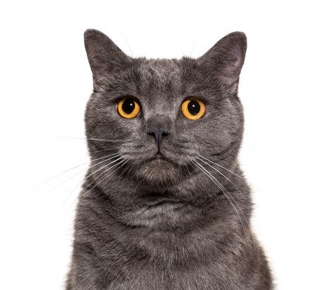 British Shorthair, 4 years old, in front of white background Standard-Bild