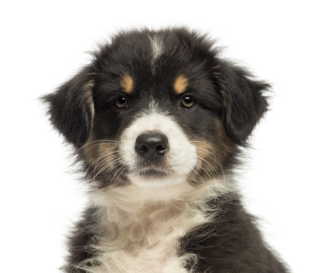 Close-up of an Australian Shepherd puppy, 2 months old, looking at camera against white background
