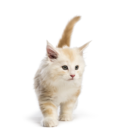 Maine coon kitten, 8 weeks old, in front of white background Stock Photo