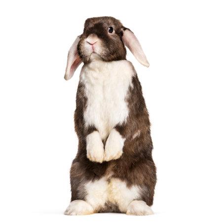 Rabbit sitting on hind legs against white background