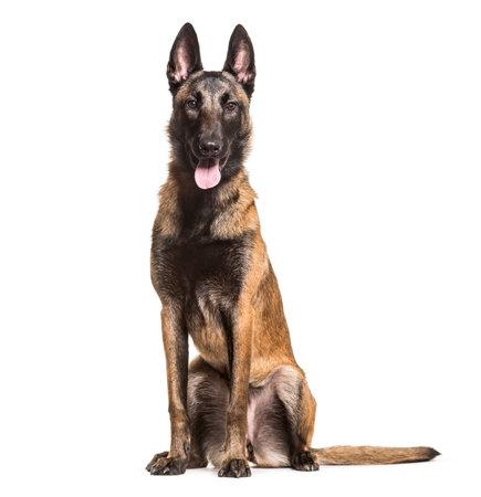 Malinois dog, 1 year old, sitting against white background