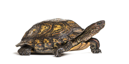 Ornate or painted wood turtle, Rhinoclemmys pulcherrima, in front of white background 免版税图像