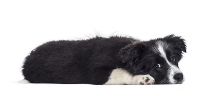 Border Collie puppy, 17 weeks old, against white background