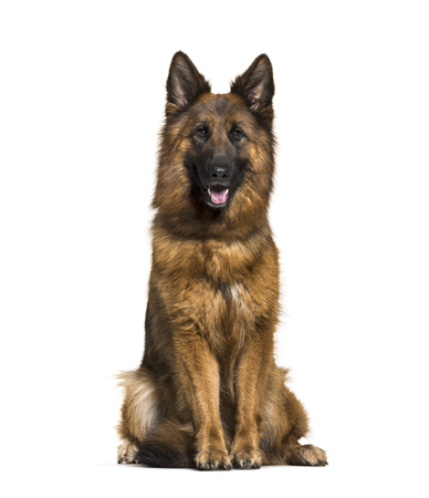German Shepherd, 3 years old, in front of white background Standard-Bild