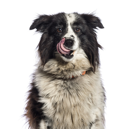 Border Collie, 11 years old, in front of white background Banco de Imagens