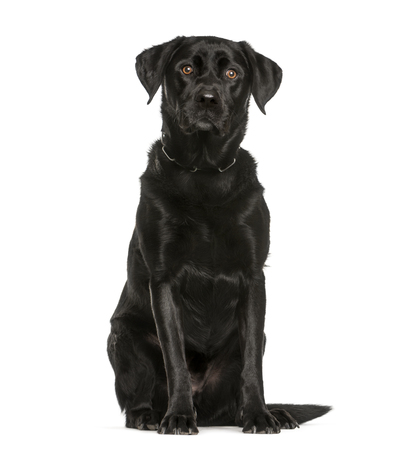 Labrador Retriever, 3 years old, sitting in front of white background Stock Photo