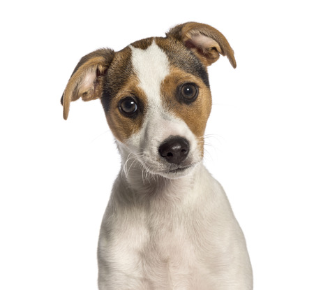 Fox Terrier, 3 months old, in front of white background Stock Photo