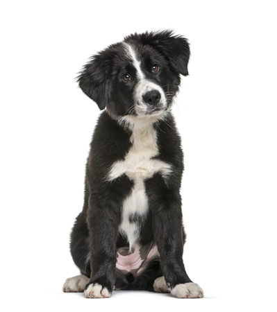 Border Collie, 3 months old, sitting in front of white background