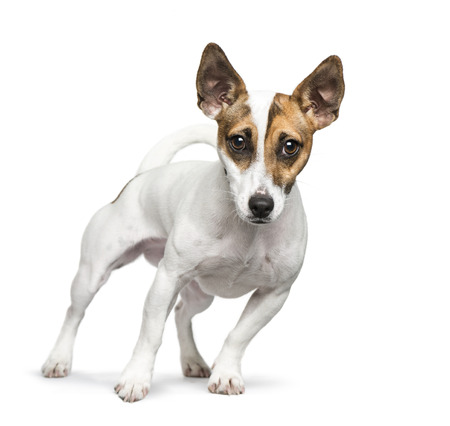 Standing Jack Russell Terrier in front of white background