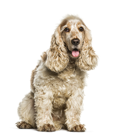 English Cocker Spaniel sitting in front of white background Фото со стока