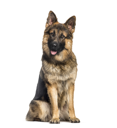 German Shepherd, 1 year old, sitting in front of white background