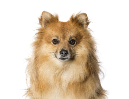 Keeshond in front of white background Stockfoto