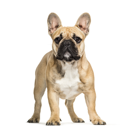 French Bulldog, 6 months old, in front of white background