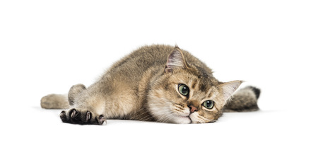 British Shorthair, 1 year old, stretching his Claws lying in front of white background Imagens