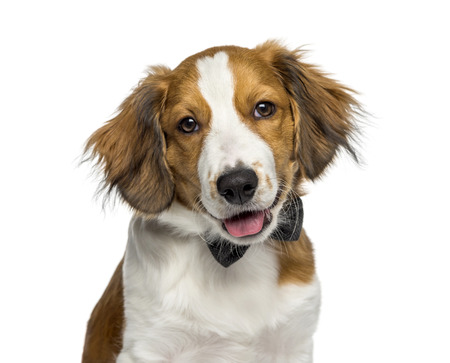 Kooikerhondje, 4 months old, in front of white background Stock Photo