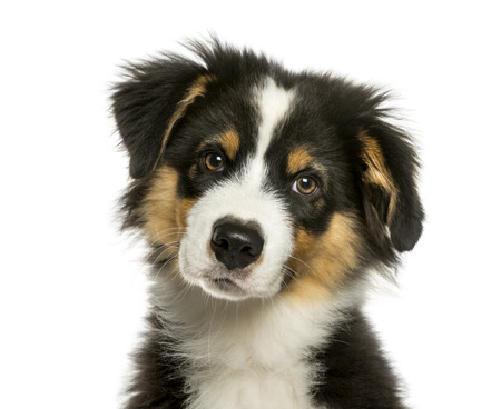 Australian Shepherd, 4 months old, in front of white background Imagens