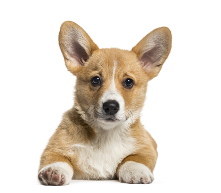 Pembroke Welsh Corgi, 3 months old, lying in front of white background